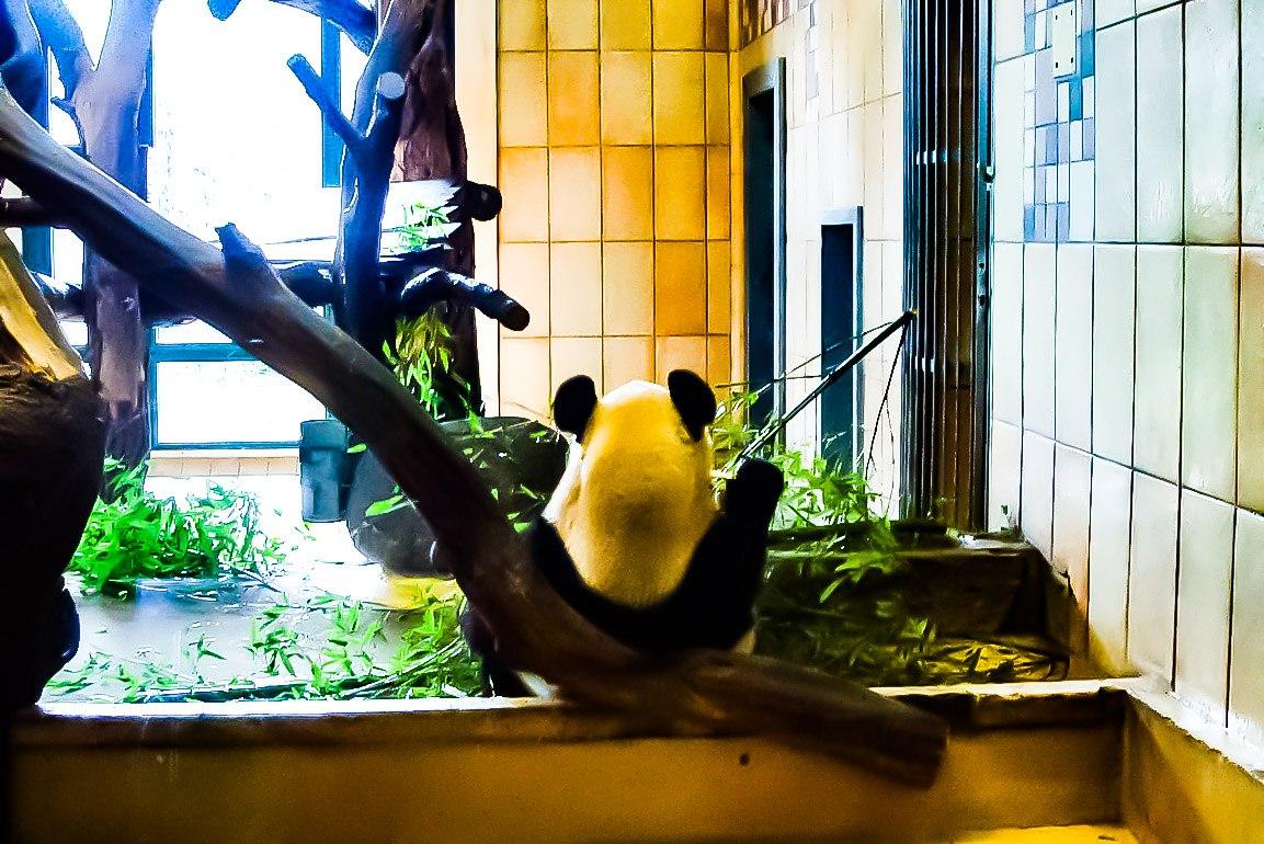 Зоопарк в Вене или голосуем за панду!